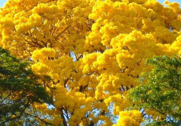 imagem-do-ipê-amarelo